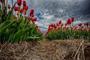Tulpenveld Sint Maartensvlotbrug van