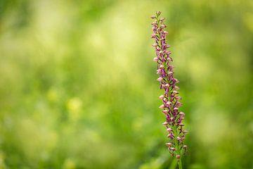Käfer-Orchidee (Listera), Wilde Orchidee von Carola Schellekens
