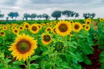 Sonnenblumen von eric t'kindt