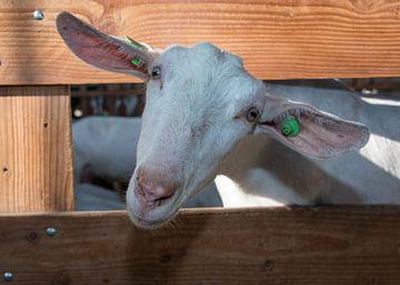 kop van een geit  van Compuinfoto .