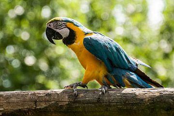 Ara : Safaripark Beekse Bergen van Loek Lobel