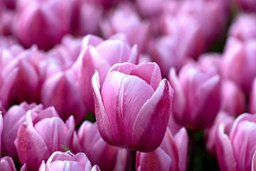 Roze tulp in een roze tulpenveld