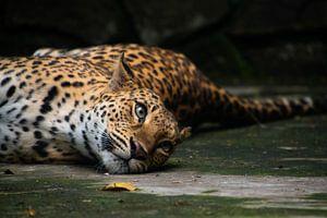 Fauler Leopard