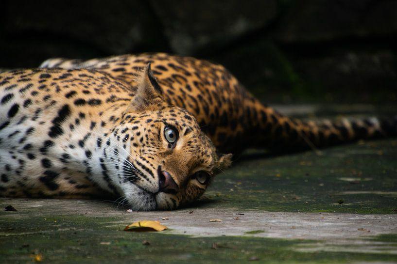 Fauler Leopard von Jeroen Pol
