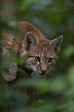 Eurasian Lynx  ( Lynx lynx ), playful cute cub van wunderbare Erde