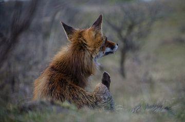 Krabbelende vos von Yvonne van der Meij