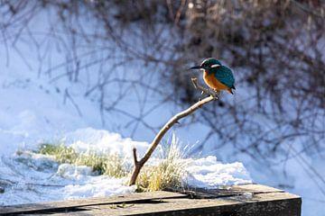 IJsvogel op wacht van Dokra Fotografie