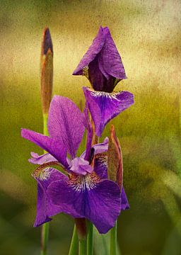 Iris blau sur Rosi Lorz