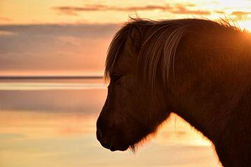 Islandpferd bei Sonnenuntergang von Elisa in Iceland