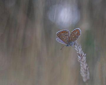 Icarusblauwtje sur Esther Bakker-van Aalderen