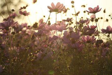 Cosmea bloemen in de avondzon van Cora Unk