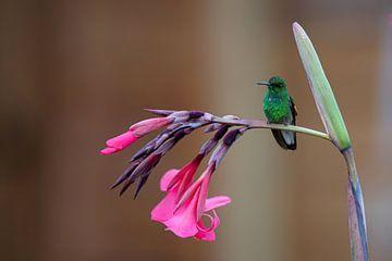 Kolibri auf Blume von Henk Bogaard