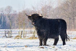 Zwarte Schotse Hooglander koe staat in winterse sneeuw