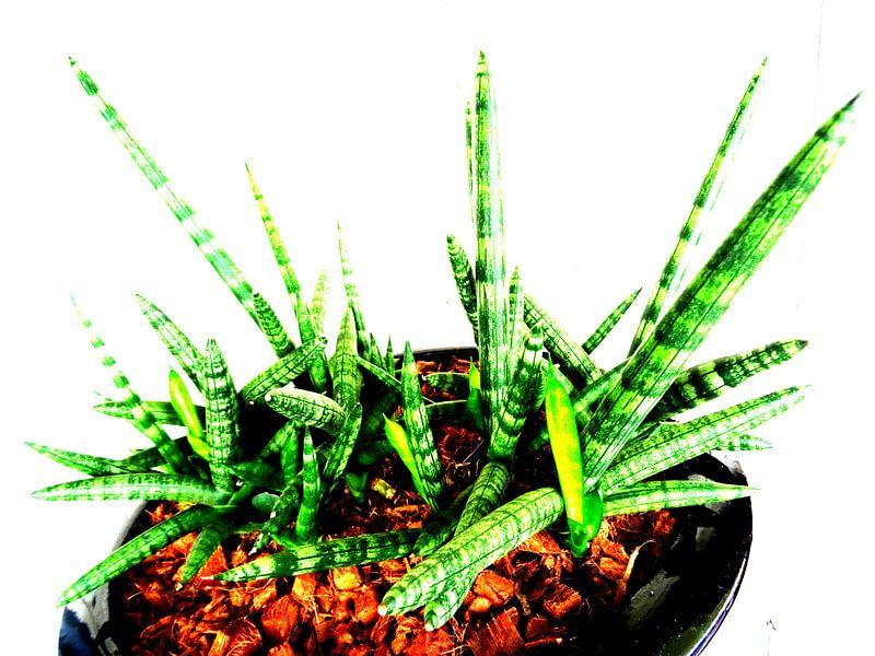 Kamerplant: Sansevieria Cylindrica Shabiki 5 sur MoArt (Maurice Heuts)