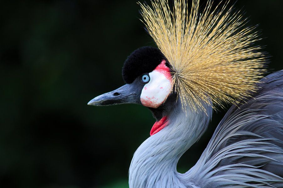 Kroonkraanvogel van Martin Smit