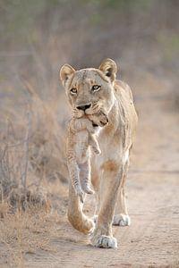 Mère amour d'une lionne sur Jos van Bommel