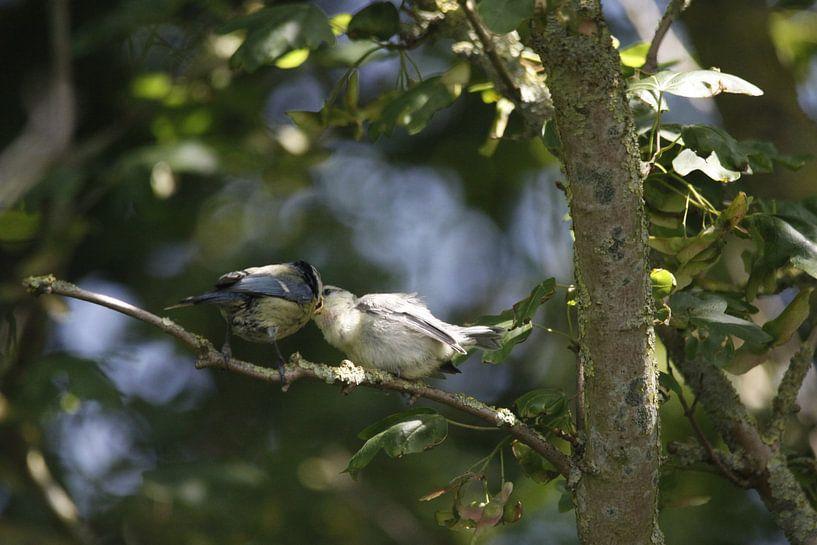 Blaumeise seine jungen Insekten Fütterung von Cora Unk