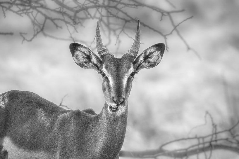 Springbok in Zwart-Wit van Guus Quaedvlieg