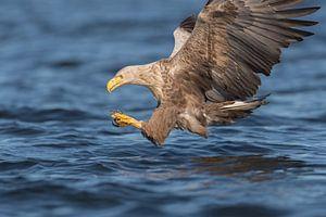 Europese Zeearend  net voor de catch