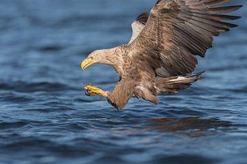 Europese Zeearend  net voor de catch van
