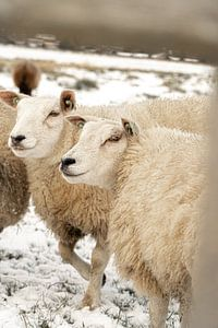 Neugierige Schafe an einem Wintertag