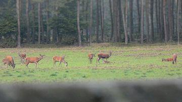 Herten op de veluwe  in Kootwijk van Wilbert Van Veldhuizen
