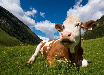 Vache en Autriche sur Cynthia Hasenbos