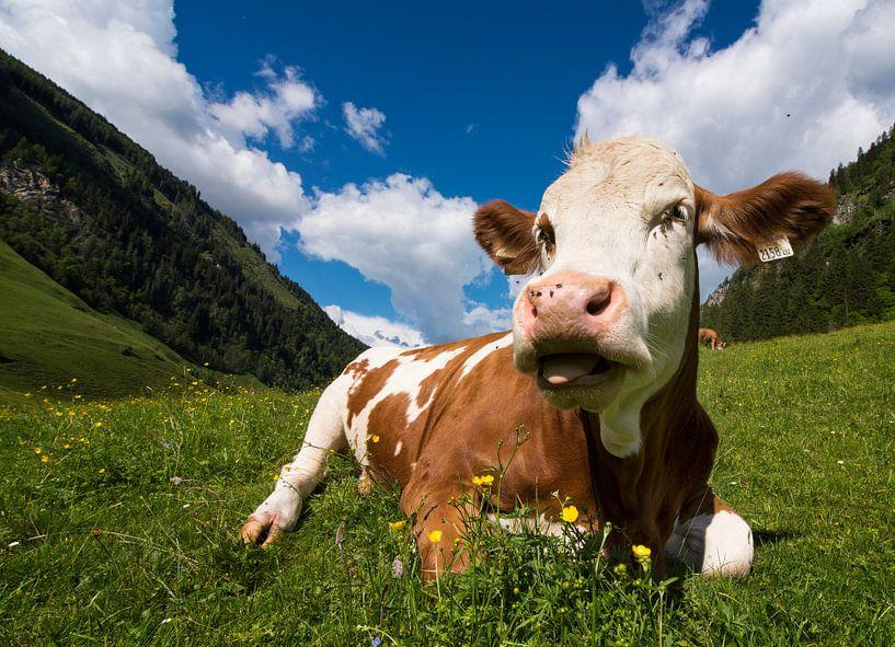 Koe in Oostenrijk van Cynthia Hasenbos