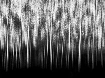 Populier bos zwart wit