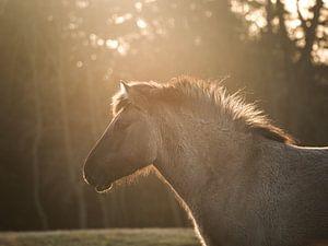 konik Pferd in goldenem Licht