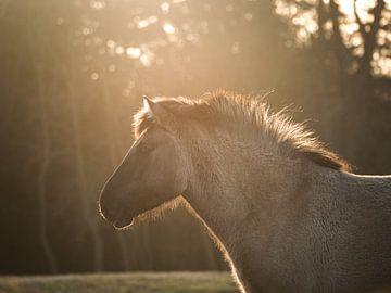 konik Pferd in goldenem Licht von Kayleigh Heppener