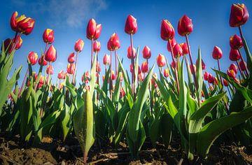 Riesige Tulpen von Joris Pannemans - Loris Photography