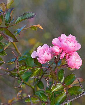Wilde roos in kleurrijke herfst in Duitsland van Babetts Bildergalerie