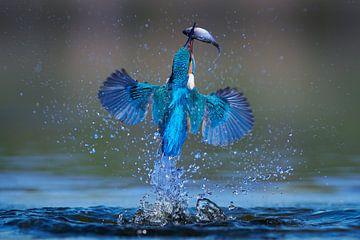 Eisvogel - Blitzschnell