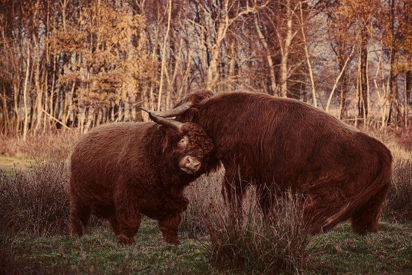 Fighting Bulls van Meint Brookman