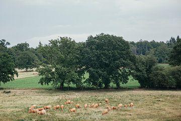 koeien in de wei van Huib Vintges