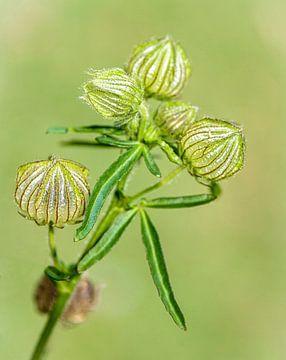 Seed-Boxen verwelkten Blumen von Rietje Bulthuis