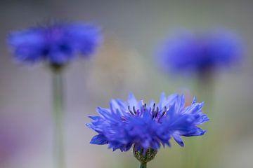 blaue Kornblumen von Kaat Nobelen
