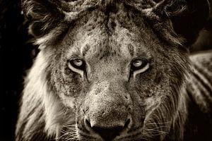 Porträt eines jungen männlichen Löwen.