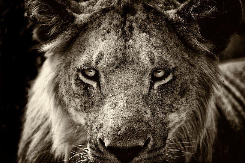Porträt eines jungen männlichen Löwen. von Louis en Astrid Drent Fotografie