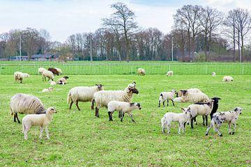 Witte schapen met pasgeboren lammetjes in groene Europese wei van Ben Schonewille