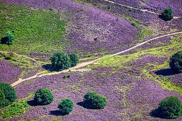 Vue aérienne d'un troupeau de moutons sur la bruyère fleurie sur Frans Lemmens