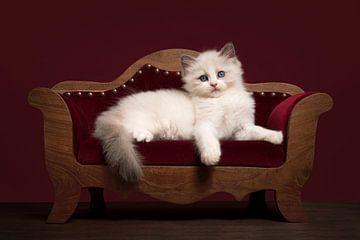 Niedliche ragdoll Kätzchen liegen auf einem Luxus-Sofa von Elles Rijsdijk