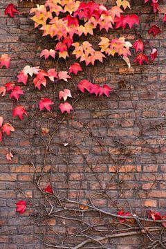 Ivy in herfstkleuren op een bakstenen muur van Denis Feiner