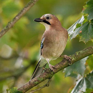 Jay ( Garrulus glandarius ), bewaker van het bos, zit in een boom en kijkt naar de dieren in het wil van wunderbare Erde