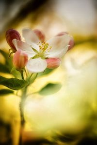 Apfelblüte in der frühen Morgensonne