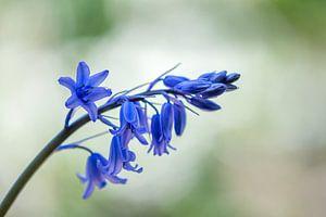 Glockenblumen wilde Hyazinthe