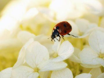 Lieveheersbeestje op de witte hortensia van Jessica Berendsen