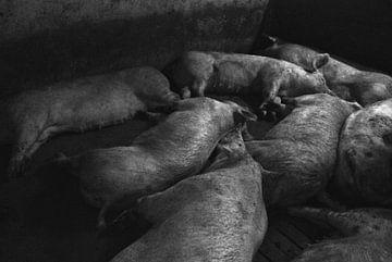 Bild von Stachelschweinen. von Therese Brals