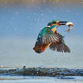 Eisvogel - Im Handumdrehen von IJsvogels.nl - Corné van Oosterhout